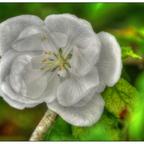 Verspätete Apfelblüte (Nikkor 4.0 / 70 -210mm)