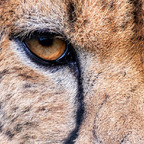 Eye of the Cheetah