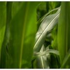 Maisblätter (Nikkor 3.5 / 35-70mm @3.5 / 5D)
