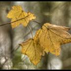 November (Vivitar Serie1 2.3 / 135mm @2.3)