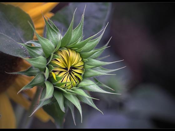 Verspätete Sonnenblume