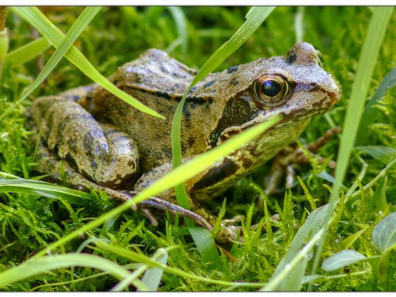 Sei kein Frosch (Takumar 4.0/300mm @4.5 / 550D)